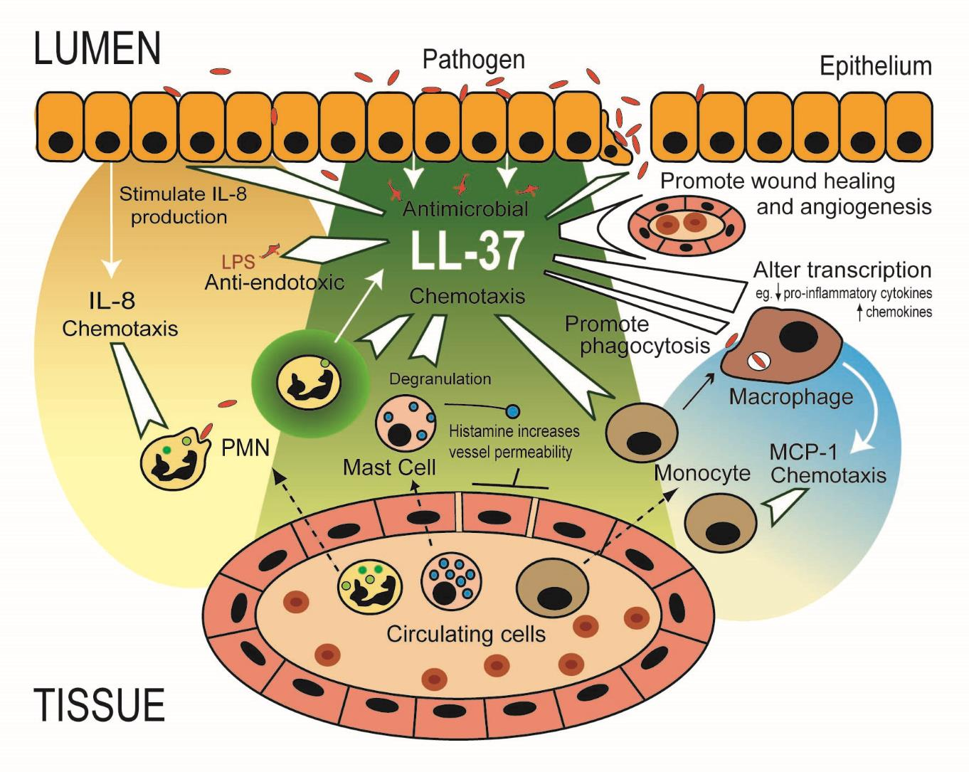 Schematic diagram showing multiple effects of LL-37 on cells of the innate immune system